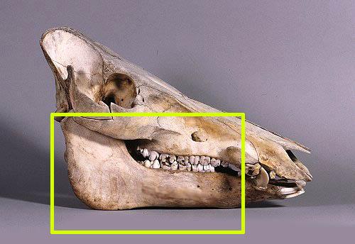 boarskullsidelm41-001.jpg
